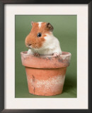 Guinea Pig in Flower Pot Print by De Meester