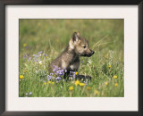 Grey Wolf Pup Amongst Flowers, Montana, USA Prints by Tom Vezo