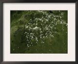 Small White Flowers, Chile Prints by Pablo Sandor