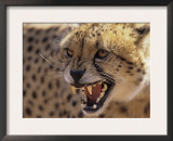 Cheetah Snarling (Acinonyx Jubatus) Dewildt Cheetah Research Centre, South Africa Posters by Tony Heald