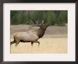 Elk, Bull Bugling in Rut, Yellowstone National Park, Wyoming, USA Poster by Rolf Nussbaumer