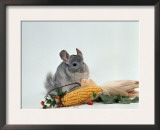 Long-Tailed Chinchilla Prints by  Steimer