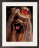 Yorkshire Terrier with Hair Tied up and Panting Posters by Adriano Bacchella