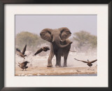 African Elephant, & Whitebacked Vultures by Waterhole, Etosha National Park, Namibia Prints by Tony Heald