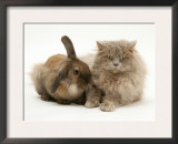 Fluffy Grey Cat Cuddled up with Dwarf Lionhead Rabbit Print by Jane Burton