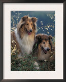 Two Shetland Sheepdogs Panting Prints by Adriano Bacchella