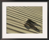 Sahara Horned Viper, Side Winding up Desert Sand Dune, Morocco Prints by James Aldred