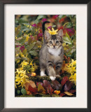 Domestic Cat, 12-Week, Agouti Tabby Kitten Among Yellow Azaleas and Spring Foliage Poster by Jane Burton