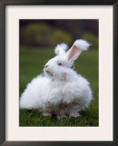 Domestic Angora Rabbit Posters by  Reinhard