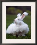Domestic Angora Rabbit Posters by  Reinhard