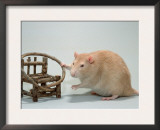 Red Domestic Rat Prints by De Meester
