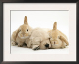 Golden Retriever Puppy Sleeping Between Two Young Sandy Lop Rabbits Posters by Jane Burton