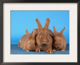 Domestic Rabbit with Young Print by Petra Wegner
