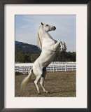 Grey Andalusian Stallion Rearing, Ojai, California, USA Poster by Carol Walker