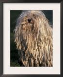 Puli / Hungarian Water Dog Portrait Prints by Adriano Bacchella