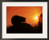 Hedgehog (Erinaceus Europaeus) Silhouette at Sunset, Poland, Europe Poster by Artur Tabor