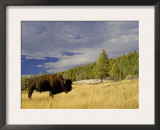 Bison (Bison Bison) Yellowstone National Park, Wyoming, USA Prints by Rolf Nussbaumer