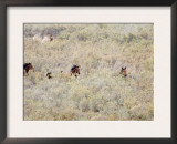 Bay Mares and Stallion Amongst Brush, Meeker, Colorado, USA Prints by Carol Walker