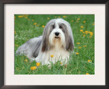 Bearded Collie Posters by  Steimer