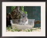 Long-Tailed Chinchilla Sand Bathing Posters by  Steimer