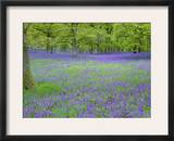 Bluebells Flowering in Beech Wood Perthshire, Scotland, UK Poster by Pete Cairns