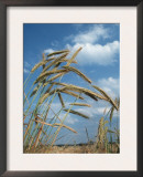 Rye Growing in Field, Germany Prints by Petra Wegner