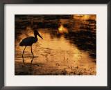 Silhouette of Jabiru Stork in Water, at Sunset, Pantanal, Brazil Print by Staffan Widstrand