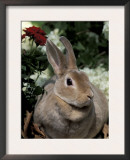 Mini Rex Domestic Rabbit Art by Lynn M. Stone