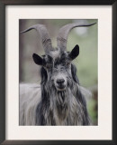 Feral Goat Male, Scotland Print by Niall Benvie