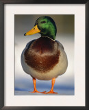 Mallard Drake Portrait Standing on Ice, Highlands, Scotland, UK Posters by Pete Cairns