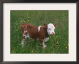 Cows, Domestic Cattle, Calf, Europe Posters by  Reinhard