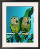 Orange-Cheeked Conures (Aratinga Pertinax Chrysophrys) Art by  Reinhard