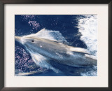 Atlantic Spotted Dolphin Bow-Riding, Bahamas, Atlantic Posters by Todd Pusser