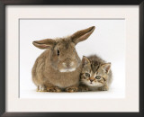 British Shorthair Brown Tabby Female Kitten with Young Agouti Rabbit Prints by Jane Burton