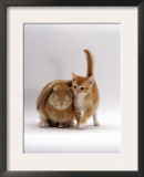 Domestic Cat, Ginger Female with Young Sandy Lop Eared Rabbit, Colour Coordinated Prints by Jane Burton