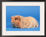 Buff American Crested Coronet Guinea Pig Prints by Petra Wegner