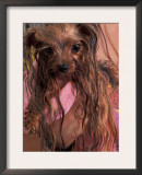 Wet Yorkshire Terrier Wrapped in a Towel Prints by Adriano Bacchella