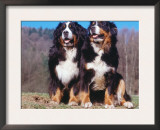 Two Bernese Mountains Dogs Posters by  Reinhard