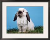 Lop-Eared Dwarf Rabbit Posters by Petra Wegner