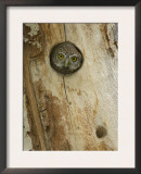 Northern Pygmy Owl, Adult Looking out of Nest Hole in Sycamore Tree, Arizona, USA Print by Rolf Nussbaumer