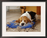 Beagle with Destroyed Pillow Prints by  Steimer