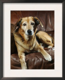 Mixed Breed Dog Sitting on Sofa Prints by Petra Wegner