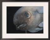 Deepsea Fish {Paraliparis Sp.), Deep Sea Atlantic Ocean Posters by David Shale