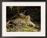 Tiger, Lying on Stone and Flicking Tail, Bandhavgarh National Park, India Art by Tony Heald