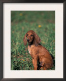 Smooth / Short-Haired Segugio Italiano Hound Puppy Portrait Posters by Adriano Bacchella
