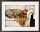 Yorkshire Terrier Lying on Couch Posters by Adriano Bacchella