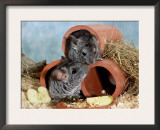 Long-Tailed Chinchillas at Play Prints by  Steimer