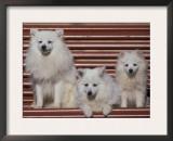 Domestic Dogs, Volpino Italiano / Italian Spitz Family Posters by Adriano Bacchella