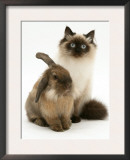 Young Birman-Cross Cat with Dwarf Lionhead Rabbit Prints by Jane Burton