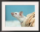 White Mouse at Play Prints by Petra Wegner